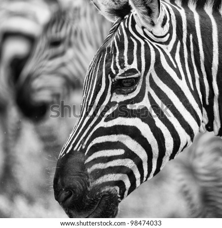 Close Up Stylized Black and White Portrait of Zebra on Serengeti Tanzania Africa