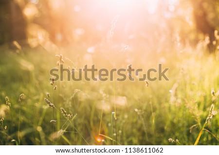 Close Up Summer Green Grass In Sunset Sunrise  Sunlight. Toned Photo. #1138611062
