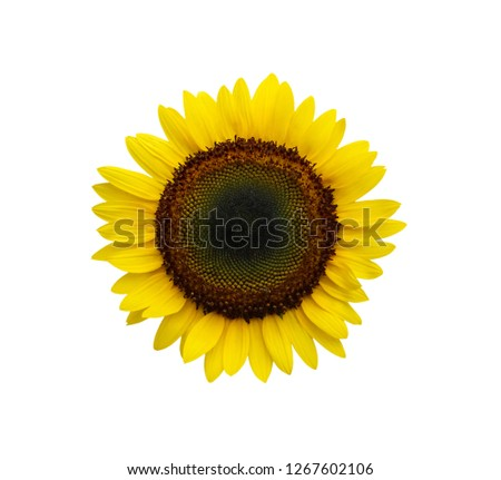 Close up sunflower blooming on white background, sunflower isolated.                                #1267602106