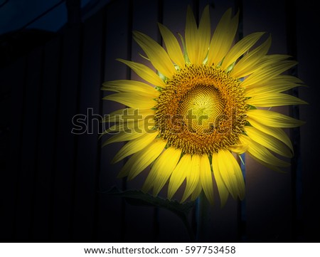 close up sunflower on black background #597753458