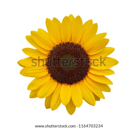 Close up sunflower on white background