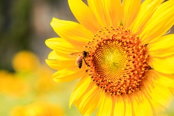Close up Sunflowers and flying bee with mountains background