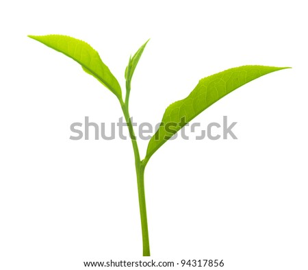 Close up tea leaves on white background