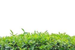 Close up tea plantation isolated on white background