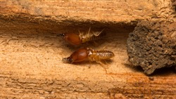 Close up termite soldiers are guarding the nest, Subterranean termites are the pest that will cause damage or destruction. If there is no control, They destroy the old wood rotting of the house