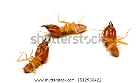 Close up termites dead on a white background. concept of insect control, Termite problem in house.
