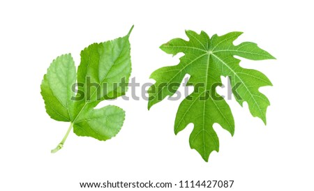Close up texture of green leave isolated on white background, Mulberry and papaya leave.