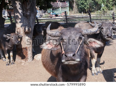 Close-up thai buffalos in corral. #579995890
