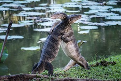 Close up the Asian Two water monitor (Varanus salvator) - lizards fighting each other.