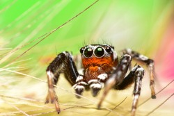 Close up the black and brown jumping spider sticks on carpel and colourful background. Jumping spiders have some of the best vision among arthropods and use it in courtship, hunting, and navigation.