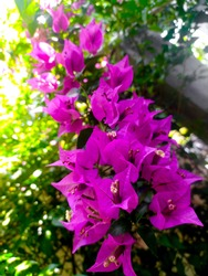 Close up the colorfull purple of Bougainvillea flowers.The lesser bougainvillea or paperflower.