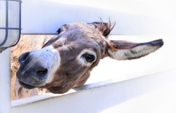 Close up the face of a cute donkey and look good. Have a smile on the fence on the white background.