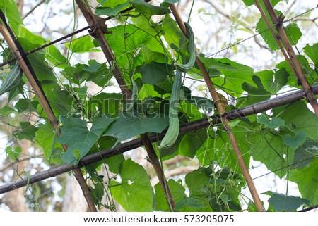 close up the  fresh  green Luffa cylindrica on the   tree , Fresh ridge gourd on the tree #573205075