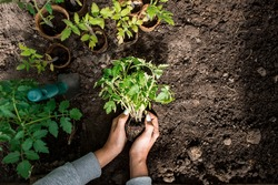 Close-up. The hands of a young woman hold the soil with a young plant. Planting seedlings in the ground. There is a spatula nearby. The concept of nature conservation and agriculture.