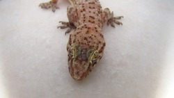 close up the head of a gecko