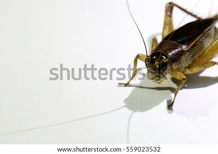 Close up the head of cricket on a white background, loud voice insects and live in the soil