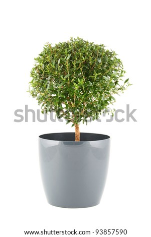 Close-up the myrtle tree in in flowerpot. Plant in a pot. Isolated on white background