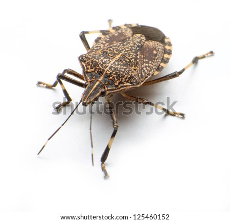 Close-up the stinkbug isolated in white background