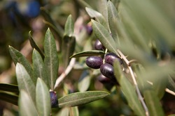 Close up. The tree branch with black olives and gree leaves at the plantation near Rome, Lazio, Italy. Italian agriculture and olive oil production process in detail.