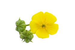Close up the yellow flower of devil's thorn (Tribulus terrestris plant) isolate on white background with clipping path.
