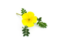 Close up the yellow flower of devil's thorn (Tribulus terrestris plant) on white background with soft shadow.