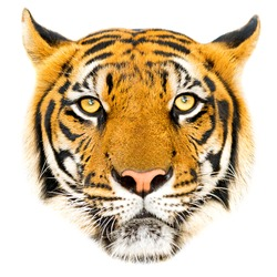 Close up Tiger face, isolated on white background.