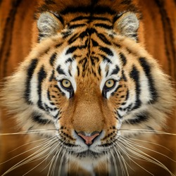 Close up tiger portrait. Animal looking on camera. Danger animal in nature habitat