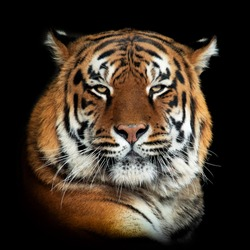 Close up tiger portrait isolated on dark background