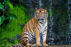 Close up tiger sit down in front of the waterfall