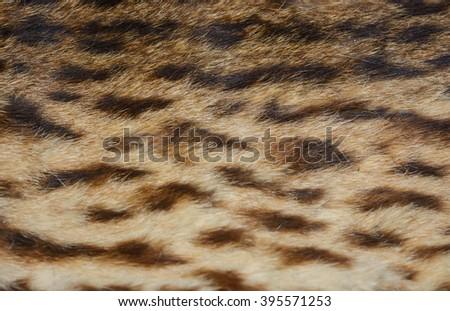 close up tiger skin texture...