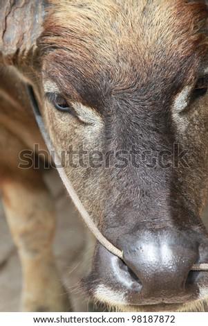 Close-up to a buffalo face
