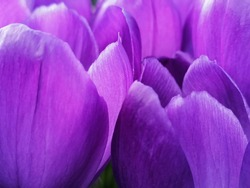 Close up to blurred purple flower petals texture background.