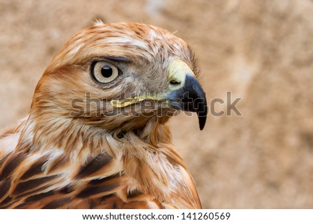 Close up to face of hawk on blurred background.