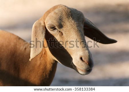 Close up to face of lamb, livestock sheep in farm