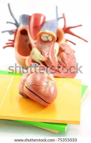close up to heart anatomy