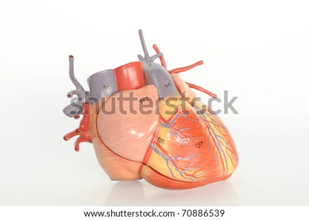 close up to heart model
