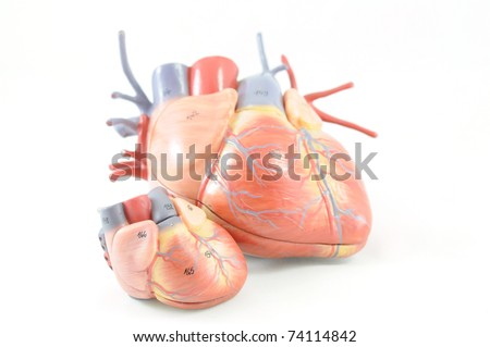 close up to human heart anatomy