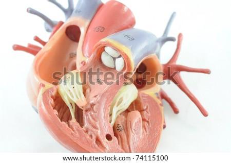 close up to human heart anatomy