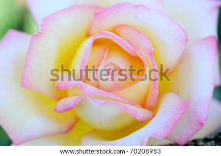 close up to pink rose