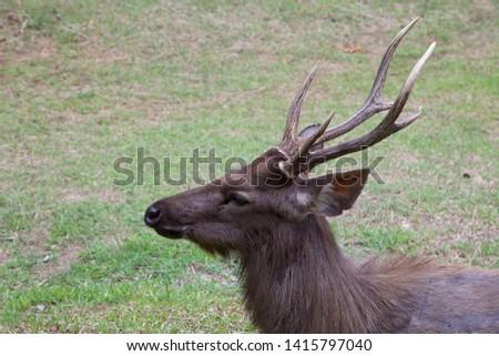 Close up to Samba deer. Samba deer's head and stag, horizontal frame.