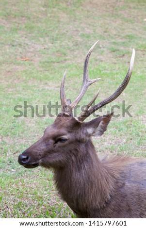 Close up to Samba deer. Samba deer's head and stag, vertical frame.