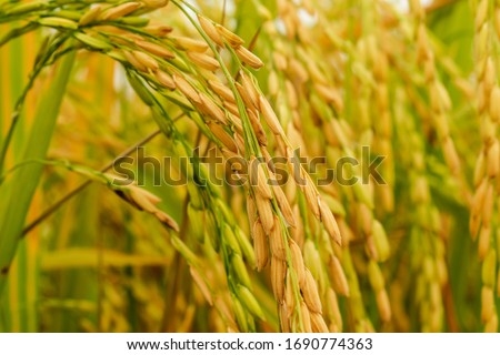 Close-up to thai rice seeds in ear of paddy.Beautiful golden rice field and ear of rice.
