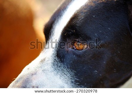 close up to The head of dog, eyes, mouth, nose, the black and white dalmatian dog \'s head  no purebred laying on the floor.