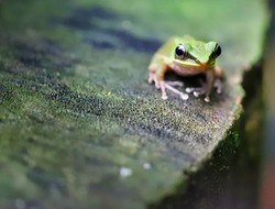 Close up to tropical green frog