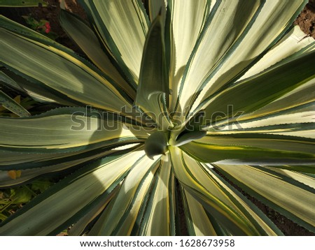 Close up top view of green agave plant in the Public park