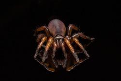 Close up trapdoor spider on black background.