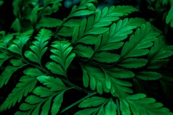 close up tropical leaves,(Fern leaves) green foliage in jungle, nature background