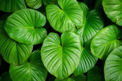 Close up tropical nature green leaf caladium texture background. Tropical forest and travel adventure concept. Vintage tone filter color style.