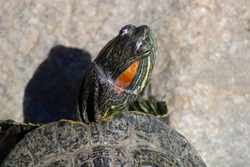 Close up turtle head and eyes