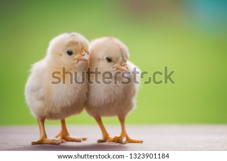 Close up twin of little chickens friend between brown and yellow color on green or natural background and on wood floor, Both of chicks, Newborn of chickens on wooden nest for business and trader  Stockfoto ©
